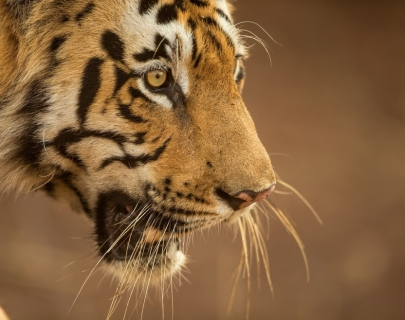 Side profile of a tiger