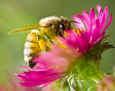 A Bee taking nectar from a pink flower