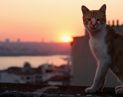 A ginger and white cat sitting on a wall in front of a sunset across Istanbul